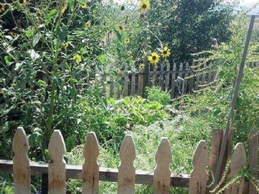 Late summer organic vegetable gardening
