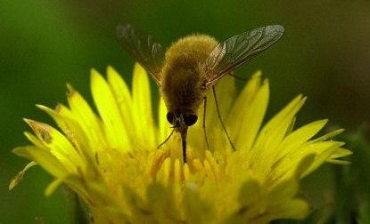 Bee Fly-02