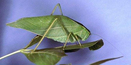 Broadwinged Katydid