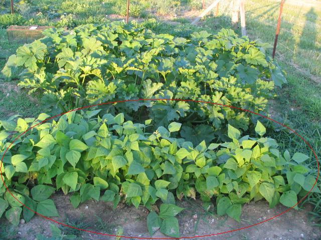 bush beans plants
