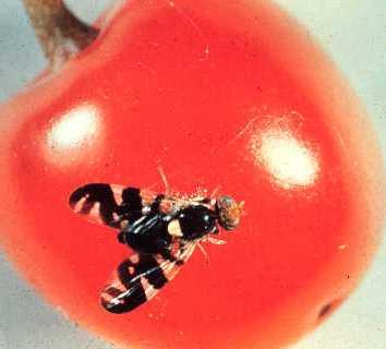 Cherry Fruit Fly