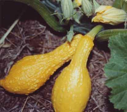 pumpkins diseases