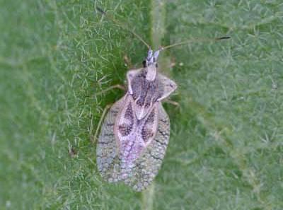 Eggplant Lace Bug