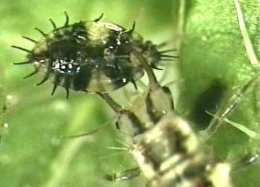 Green Lacewing Larva
