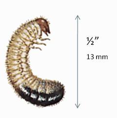 Japanese Beetle Larva
