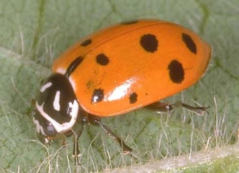 Lady Beetle -  Hippodamia convergens