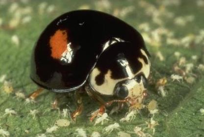 Lady Beetle - Olla abdominalis