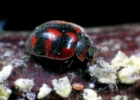 Lady Beetle - Rodolia cardinalis