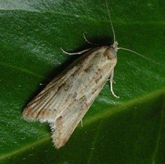 Omnivorous Leaftier
