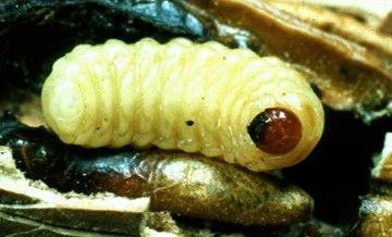 Pecan Weevil Larva