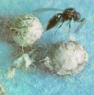 Trichogramma Wasp