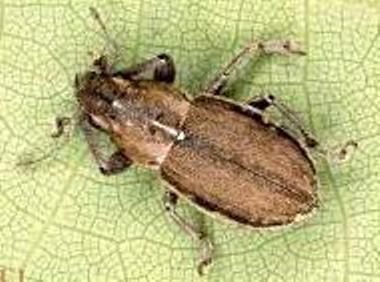 Whitefringed Beetle
