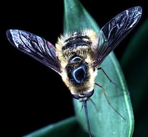Bee Fly-01