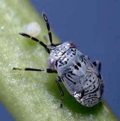 Bigeyed Bug