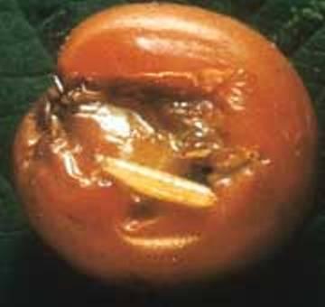Cherry Fruit Fly Larva