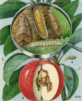 Codling Moth Life Cycle