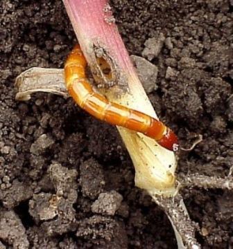 Eastern Field Wireworm