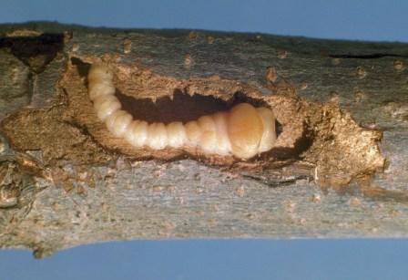 Flatheaded Appletree Borer