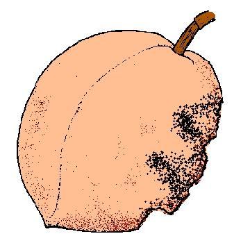 fruit is deformed