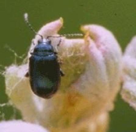 Grape Flea Beetle
