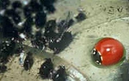 Lady Beetle Cycloneda species