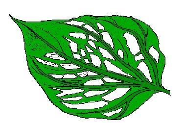 leaf is skeletonized