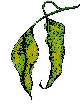leaf-is-wilting