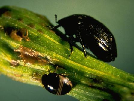 Negro Bug