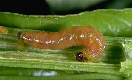 Oriental Fruit Moth Larva