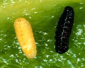 Pepper Maggot Larva